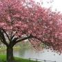 5th Annual Allentown Cherry Blossom Festival