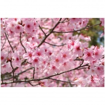 CherryBlossom Cherry